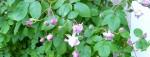 cropped-25-tea-roses-e1346882903602.jpg